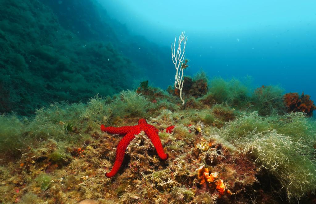 Stella marina e gorgonie